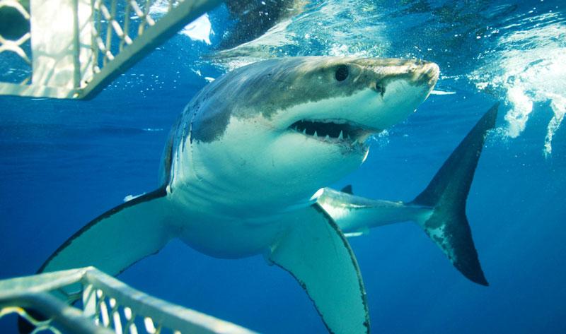 shark-cage-diving-australia