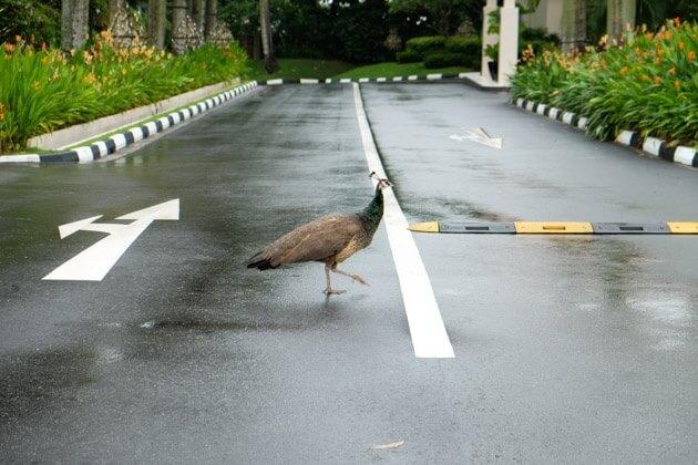 il-lido-peacock
