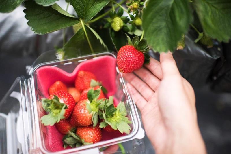 Taiwan Strawberry Farm