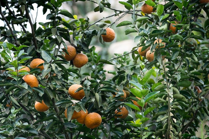 Online Tangerine Pexel citrus fruit